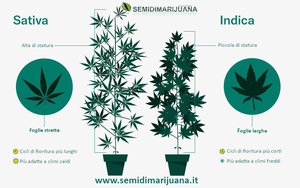indica sativa canapa cannabis marijuana
