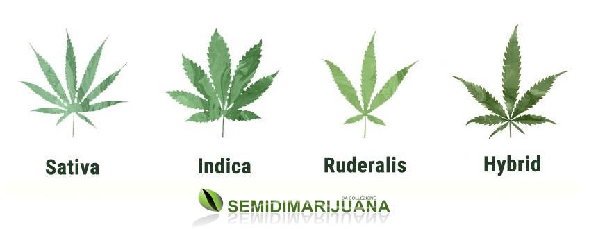 sativa indica ruderalis canapa marijuana