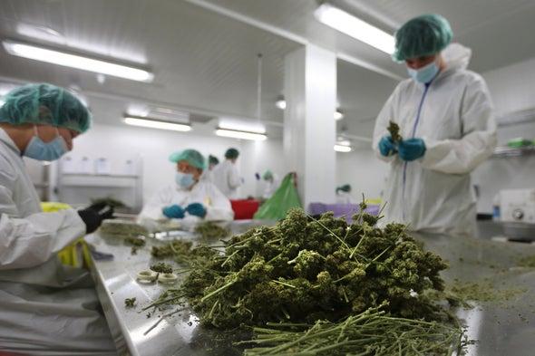 produzione cannabis